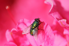 Pink & Green (wagnerchristian.com) Tags: insect fly green pink flower nature contrast colourful wings detail macro spring colors