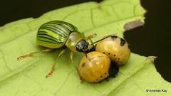Maternal guarding of Leaf Beetle larvae, Proseicela antennalis, Chrysomelidae (Ecuador Megadiverso) Tags: andreaskay beetle chrysomelidae coleoptera ecuador leafbeetle maternal proseicelaantennalis