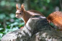 Grape (Joachim Dobler) Tags: eichhörnchen eichhoernchen squirrel écureuil ardilla scoiattolo equito nature natur nagetier wildlife animal cute naturephotography squirrellove wildlifephotography bestsquirrel nutsaboutsquirrels cuteanimals