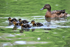 Petite famille Canard (ogollain) Tags: maisonsalfort bordsdemarne marne nature famille eau