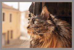 DSC05027 Easy Portrait Fenêtre (Olpo2vin) Tags: cat chat yeux eyes regard look félin feline olpo easy poils fourrure redessan 30129 animaldecompagnie vibrisses