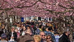 Cherry Blossom time in Kings Garden Park in Stockholm (Franz Airiman) Tags: blomma flower tree träd kungsan stockholm sweden scandinavia spring vår cherry cherries sakura körsbär