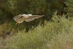 MARTINETE (Jose A. Ortiz) Tags: martinete naturaleza nature aves ave sony sigma 50500 bigma alpha volar volando vuelo sevilla a77 ngc