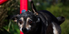DSC_0059 (Alex Srdic) Tags: dog doggo doge chihuahua pet chihuahuas blackdog tinydog smalldog uk england portsmouth southsea milton rosegardens seafront park