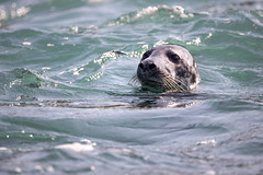 Seal of Seal Island (1) (Andrew Hocking Photography) Tags: seal cornwall st ives island april boat trip seahorse seaside coast ocean wildlife