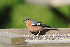 Chaffinch (MUSTANG_P51) Tags: summerleys chaffinch northamptonshire