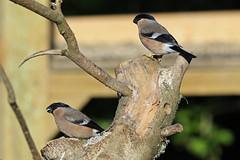 Female Bullfinch (MUSTANG_P51) Tags: summerleys female bullfinch northamptonshire