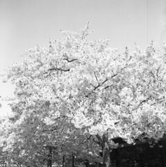 Järntorget (rotabaga) Tags: sverige sweden svartvitt göteborg gothenburg blackandwhite bw bwfp lomo lomography lubitel166 ilford mediumformat mellanformat 6x6 120 r09 järntorget cherryblossom japansktkörsbärsträd
