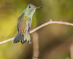 Picaflor esmeralda (Amazilia versicolor) (Sergio Ali - Naturaleza en imágenes) Tags: picafloresmeralda amazilia versicolor picaflor misiones birds ave wild