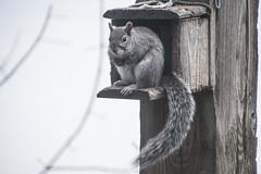 DSC_4211_1 (Marshen) Tags: squirrel