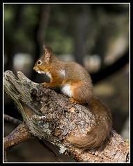 IMG_0196 Red Squirrel (Scotchjohnnie) Tags: redsquirrel sciurusvulgaris squirrel squirrelphotography rodent mammal wildlife wildlifephotography wildandfree wildanimal nature naturephotography canon canoneos canon7dmkii canonef100400f4556lisiiusm scotchjohnnie