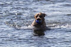 IMG_8014 (Rorals) Tags: beach seamill westkilbride northayrshire scotland scottishwildlife wildlife nature sea seaside fun dog pet canine play water labrador
