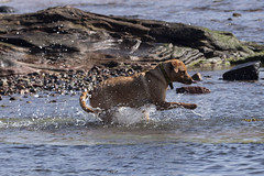 IMG_8004 (Rorals) Tags: beach seamill westkilbride northayrshire scotland scottishwildlife wildlife nature sea seaside fun dog pet canine play water labrador