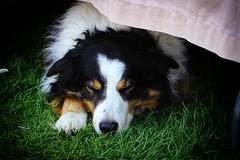 Sleepy Dog  Garden Show (psychosteve-2) Tags: animal dog sleepy