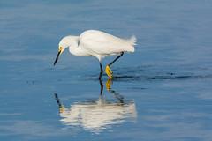 Mirror, mirror, on the water (ChicagoBob46) Tags: snowyegret egret bird jndingdarlingnwr florida sanibel sanibelisland nature wildlife ngc coth5 naturethroughthelens npc