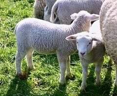 Lammetjes knuffelen . (Franc Le Blanc .) Tags: drunen deschaapskooi lammetjesdag animals sheep fauna spring lente