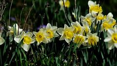 Daffies in their Prime (joeldinda) Tags: daffy daffodil garden narcissus spring potter flowers yard 4557 em1ii em1 april omd home omdem1mkii olympus 2019 mulliken 112365