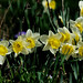 Daffies in their Prime