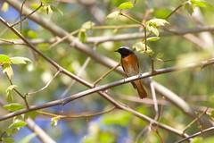 Rougequeue à front blanc (chogori20) Tags: bird animal nature wildlife oiseau tree green rougequeue
