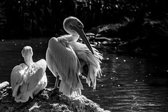 Pelican (Anne Sarthou . Photographie) Tags: beauval animal animaux animals zoo zooparc animalier pelican oiseau