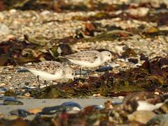 Sanderling (LouisaHocking) Tags: sanderling wader marazion seabird southwest cornwall england british bird wild wildlife nature beach coast ocean
