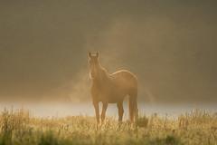 Cheval au matin (Glc PHOTOs) Tags: 20190420 080659 glc6081dxo cheval brume lever du jour tamron 100400 f4563 vc di usd glc photos nikon d7500 dslr reflex apsc 20mpixels