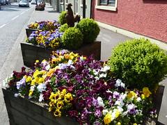 Flowers in Broughshane, Co Antrim, N Ireland. (lorraineelizabeth59) Tags: flower flowers pansy pansies viola violas broughshane ballymena countyantrim ni northernireland
