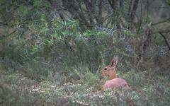 Resting Cephalophinae (Coisroux) Tags: cephalophinae bovidae duiker africansafari animals southafrica nikond850 d850 bushveld thorns portrait kwandwe trees resting