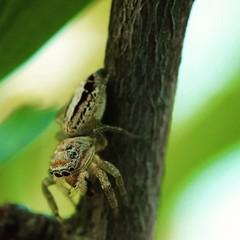 Icius sp. (Johan Leurelle) Tags: macro macrophotography natuur nature jumpingspider spiders spiderlove arachnida