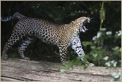 Lazy day at the zoo ... (Jan Gee) Tags: cheetah luipaard jachtluipaard leopard zoo arnhem arnheim burgers dierentuin yawn yawning gapen
