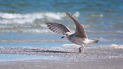 tanzende Möwe (densenato) Tags: möwe moewe vogel birds blue ostsee balticsea strand wildlife wasser meer dars prerow