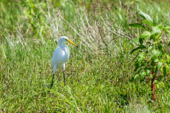 Great egret (spwasilla) Tags: bird egret greategret swamp feeding amphibian ardeaalba florida