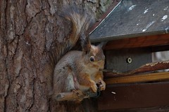 IMGP3791t (Juliuss3) Tags: tree squirrel