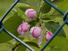 FIORI DI MELO IN BOCCIOLO. (FRANCO600D) Tags: fiore flowers natura botanica bocciolo melo fioredimelo primavera spring meleto gocce petali fioreermafrodita infiorescenza canon eos6dmarkii 6dmarkii canoneos6dmarkii canon6dmarkii franco600d