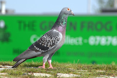 Pigeon at Preston Docks (Tony Worrall) Tags: wild wildlife bird birds outdoor nature cute flight natural images photos photograff things uk england food foodie grub eat eaten taste tasty cook cooked iatethis foodporn foodpictures picturesoffood dish dishes menu plate plated made ingrediants nice flavour foodophile x yummy make tasted meal nutritional freshtaste foodstuff cuisine nourishment nutriments provisions ration refreshment store sustenance fare foodstuffs meals snacks bites chow cookery diet eatable fodder ilobsterit instagram forsale sell buy cost stock greenfrog