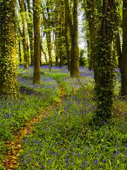 Bluebell Path-Edit (kckelleher11) Tags: 2019 ireland kildare killianthomas olympus april bluebells em1 forest omd path trees