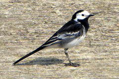 Pied Wagtail (Motacilla alba yarellii) Sywell Aerodrome 22Apr19 (kerrydavidtaylor) Tags: egbk orm sywellaerodrome northamptonshire aves wildbirds