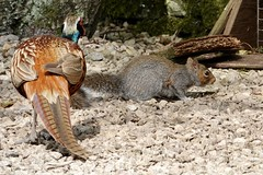 Unlikely friends (Ed Whiting) Tags: friends pheasant squirrel