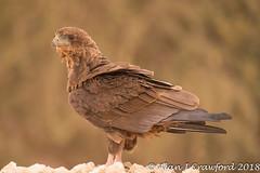 Sub Adult Bateleur_.jpg (Alan Crawford) Tags: kgalagadi wildlife birdofprey raptor eagle tawnyeagle