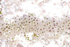Cherry blossoms (Anne K.R. Photography) Tags: 2019 spring blossom cherry cherryblossom flower flowers pretty beautiful denmark danmark copenhagen canon eos 760d 50mm canoneos760d sun outside outdoor