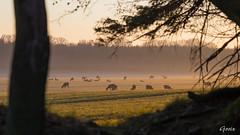 Sunrise 2019-04-22 (Gorixdk) Tags: danmark denmark dk canon eos 6d mark ii 2 ef 100400mm f4556l is dslr dyr deer hjort solopgang kronhjort stag frijsenborg skov hammel