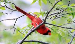 Cardinal (Marie-Helene Levesque) Tags: oiseau cardinal vb mariehélène mariehelene