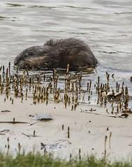 Friend or Foe . . . ? (Dr. Farnsworth) Tags: muskrat rat family long round tail eating aquatic plants pontoon boat gas line westlake mi michigan spring april2019