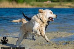 _KJM5485_20190422_175030 (KJvO) Tags: dex dog goldenretriever hilgelo hond water animal dier