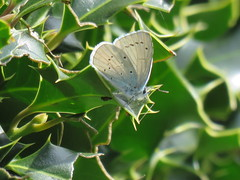 Holly Blue (marksargeant57) Tags: canonpowershotsx60hs lepidoptera insect holly hollybush leaf leaves butterfly hollyblue