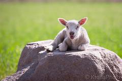 Cutie lamb, Norway (KronaPhoto) Tags: 2019 vår natur cutestever cutie lam lamb sheep animal nature dyr husdyr spring new young cubs animalportrait