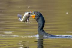 DeathOfACormorant2 (jmishefske) Tags: greenfield eating cormorant nikon water milwaukee killed wisconsin doublecrested sinker poisoning park lagoon westallis lead bird d850 fish death dying 2019 county april