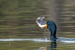 DeathOfACormorant1 (jmishefske) Tags: greenfield eating cormorant nikon water milwaukee killed wisconsin doublecrested sinker poisoning park lagoon westallis lead bird d850 fish death dying 2019 county april