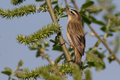 Sedge Warbler (Deadpanhammer) Tags: sedgewarbler canon7dmk2 ef400mmf56l attenboroughnaturereserve bird nature