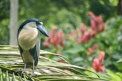 Boat billed Heron (proyectoasis) Tags: